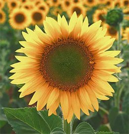 9-sunflower-6